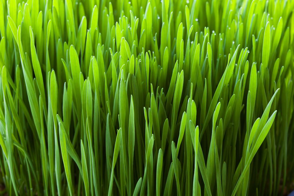 ¿Sabes lo que es el jugo de hierba de trigo?
