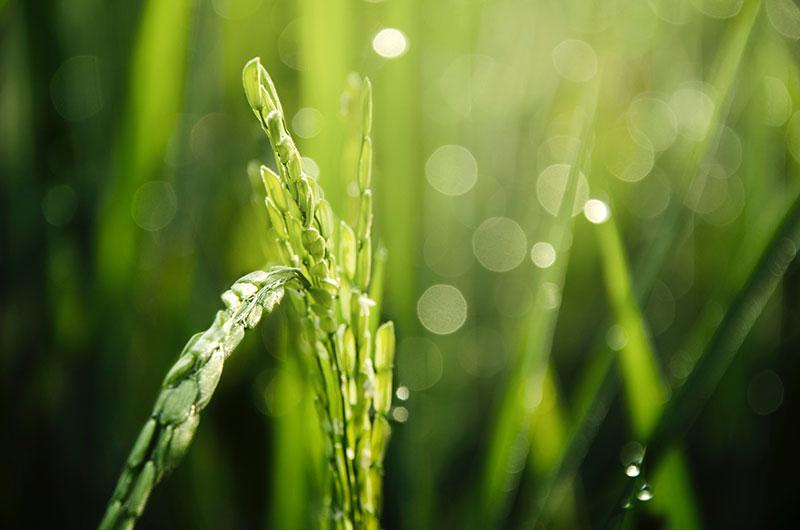 Diferencias entre el polvo de trigo y el jugo fresco